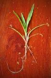 drewniani zieleni szkło korzenie Obraz Royalty Free