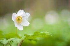 Drewniany anemon fotografia royalty free