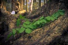 Drewniany anemon zdjęcie stock
