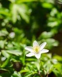 Drewniany anemon Zdjęcia Stock