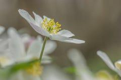Drewniany anemon Zdjęcie Royalty Free