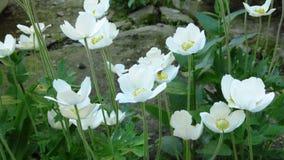 Drewniany anemon, Anemonowy nemorosa Piękny bielu ogród kwitnie z zielonymi liśćmi obraz royalty free