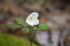 Drewniany anemon, Delikatny Ma?y Bia?y kwiat Znajduj?cy w lesie obrazy royalty free