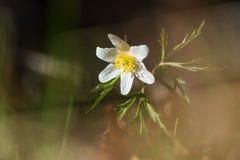 Drewniany anemon lub Windflower w wieczór podczas wiosny obrazy stock