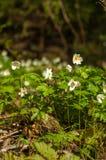 Drewniany anemon podczas wiosna sezonu w Finlandia na słonecznym dniu obraz royalty free