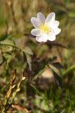 Drewniany anemon, windflower - Anemonowy nemorosa obrazy stock