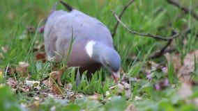 Drewniany gołąb szuka jedzenie w trawie zbiory wideo