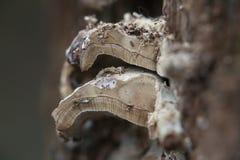 Drewniany Grzybowy przekrój poprzeczny Zdjęcie Royalty Free