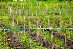 Drewniany kij dla używać w warzywa gospodarstwie rolnym zdjęcia stock