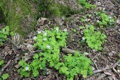 Drewniany kobylak w kwiacie Obraz Stock