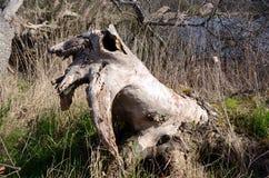 Drewniany mors Zdjęcie Royalty Free