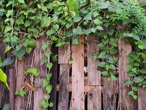 Drewniany ogrodzenie z zielonym bluszczem Fotografia Royalty Free