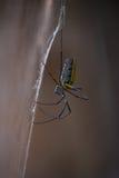 Drewniany pająk od strony Zdjęcie Royalty Free