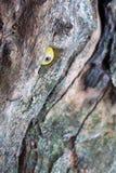 Drewniany słoń z nikczemnym uśmiechem jest przyglądającym puszkiem Fotografia Stock