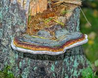 Drewniany trzonu gnicia grzyb na drzewnym fiszorku zdjęcia royalty free