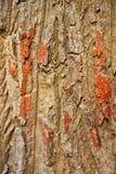 Drewno, Naturalna Korowata tekstura Zdjęcia Royalty Free