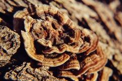 Drewno pieczarka na drzewie Zdjęcia Royalty Free