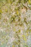 Drewno textured z zielonym mech Zdjęcie Stock