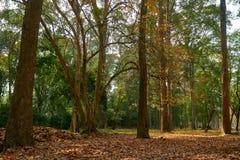 Drewno w świątynnym powikłanym Angkor Wat Siem Przeprowadza żniwa, Kambodża obraz royalty free
