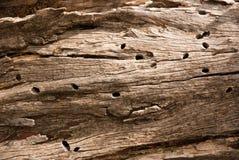 Drewno z wormholes Obraz Stock