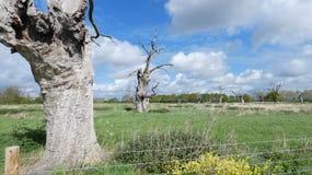 Driadi della quercia in un giorno antico della foresta petrificata in campagna inglese un giorno nuvoloso 2 fotografia stock