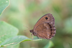 Driady (Minois dryas) motyl Fotografia Stock