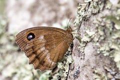 Driady (Minois dryas) motyl Zdjęcia Stock