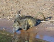 Dricka baboon Arkivbilder