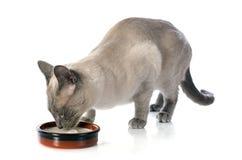 Dricka den Siamese katten Royaltyfri Fotografi