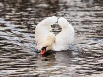 Dricka den stumma svanen Royaltyfri Foto