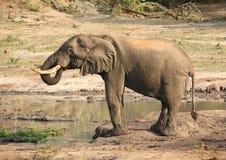 dricka elefant Arkivfoton