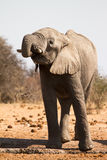 dricka elefant royaltyfri foto