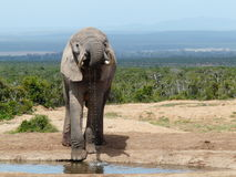 dricka elefant Arkivbilder