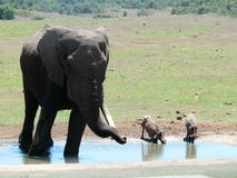 dricka elefant royaltyfria bilder