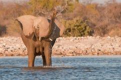 dricka elefant för ko arkivbild