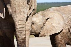 dricka elefant för kalv Arkivbild
