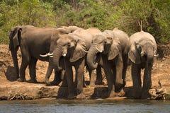 dricka elefanter fotografering för bildbyråer