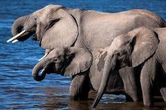 Dricka elefanter i den Chobe floden - Botswana Arkivbilder
