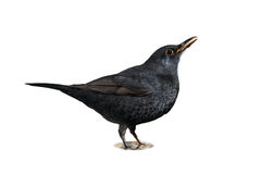 dricka för blackbird Royaltyfri Bild