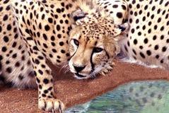 dricka för cheetah royaltyfria foton