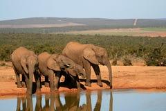 Dricka för elefanter Arkivfoton