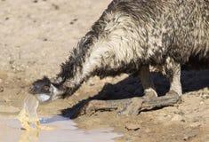 Dricka för emu royaltyfria bilder
