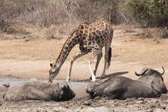 Dricka för giraff Royaltyfri Fotografi