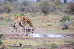 Dricka för giraff Arkivfoton