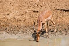 Dricka för impala Fotografering för Bildbyråer