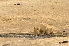 Dricka för lejon Royaltyfria Bilder