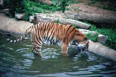 Dricka för Siberan tiger Arkivfoto