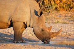 Dricka för vit noshörning Arkivfoto