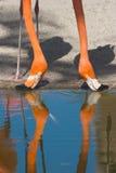 dricka flamingos Arkivfoton
