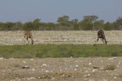 Dricka giraffet, Namibia Arkivfoto